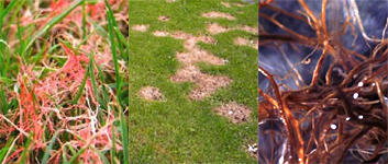 Lawn disease and dead grass.